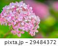 【神奈川県】あじさい 29484372