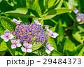 【神奈川県】あじさい 29484373