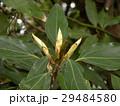 検見川浜の県道側に沢山植わっているシロダモの新芽 29484580