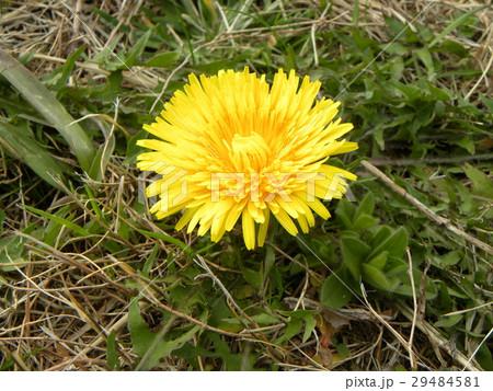 道端に咲くセイヨウタンポポの黄色いr花 29484581