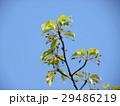 カワヅザクラ 実 春の写真 29486219