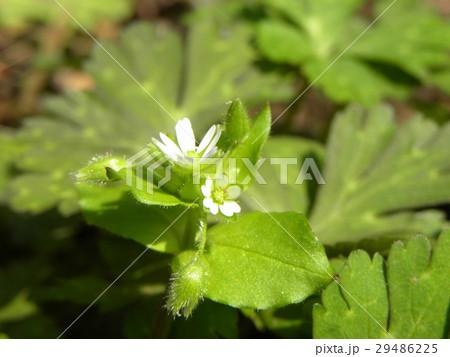可愛い小さいハコベの白い花 29486225