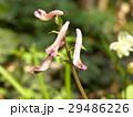 カタクリの咲く時期に咲くジロボウエンゴサク 29486226