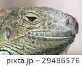 爬虫類 イグアナ グリーンイグアナの写真 29486576