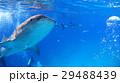 ジンベイザメ 海 自然 野生 水中写真 29488439