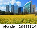 菜の花 花畑 浜離宮恩賜庭園の写真 29488516