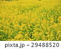 浜離宮恩賜庭園の菜の花畑 29488520