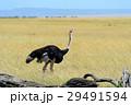 だちょう ダチョウ 鳥の写真 29491594