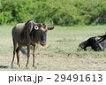 ヌー アフリカ アフリカ大陸の写真 29491613