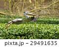 ペリカン 鳥 くちばしの写真 29491635