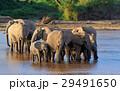 ぞう ゾウ 象の写真 29491650