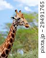 アフリカ アフリカ大陸 きりんの写真 29491765