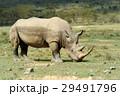 Rhino 29491796