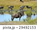 ヌー アフリカ アフリカ大陸の写真 29492153