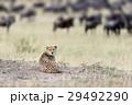 チーター 動物 アフリカの写真 29492290