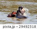 かば カバ 動物の写真 29492318