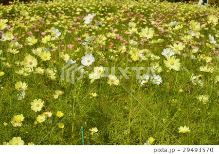 コスモスの花畑(神戸布引ハーブ園/兵庫県神戸市中央区) 29493570