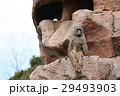サル ヒヒ 動物園の写真 29493903