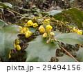 小さい黄色い花はヒイラギナンテンの花 29494156