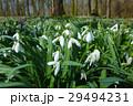 お花 フラワー 咲く花の写真 29494231