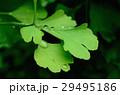 イチョウ 葉 雨の雫の写真 29495186