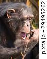 チンパンジー 猿 動物の写真 29495262