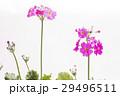 ピンクのプリムラの花 29496511