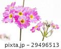 ピンクのプリムラの花のアップ 29496513