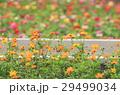 金鶏菊 ジャノメソウ 蛇の目草の写真 29499034