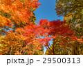 紅葉と青空 29500313
