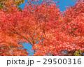 紅葉と青空 29500316