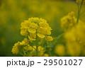 菜の花 アップ 春の写真 29501027