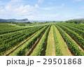 ワイン畑 29501868