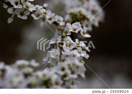 ユキヤナギの花 29509024