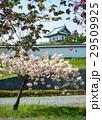 Sakura cherry blossom at Japan 29509925