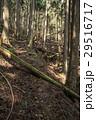 杉林 森 針葉樹林の写真 29516717