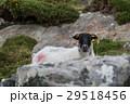ひつじ ヒツジ 羊の写真 29518456