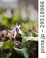 カタクリ 花 植物の写真 29518966
