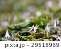カタクリ 花 植物の写真 29518969