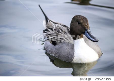 池で泳ぐオナガガモ 29527399