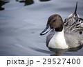 カモ オナガガモ 野鳥の写真 29527400