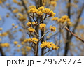 サンシュユ 花 ハルコガネバナの写真 29529274