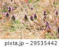 野花 ヒメオドリコソウ 花の写真 29535442