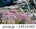 梅林(徳島県吉野川市美郷) 29535465