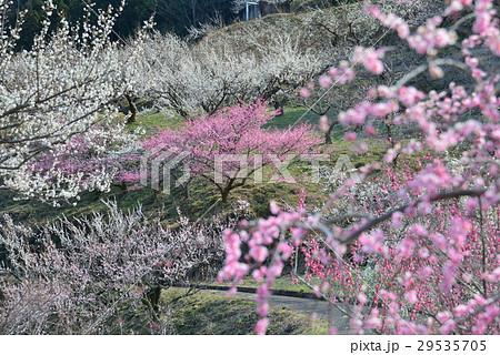 梅林(徳島県吉野川市美郷) 29535705