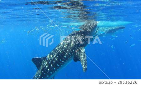 ジンベイザメ サメ 水中写真 自然 野生 29536226