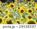 ヒマワリ 花 黄色の写真 29536597