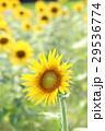 ヒマワリ 花 黄色の写真 29536774