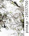 桜 29537700