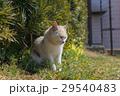 猫 野良猫 動物の写真 29540483